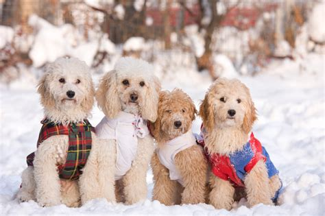 winter dogs how to keep your dogs safe during winter