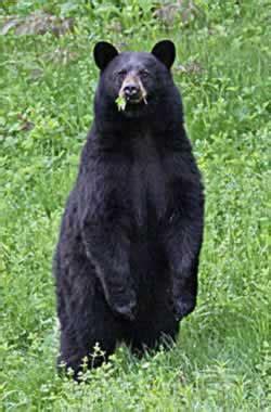 bear hunting  hampshire fish  game department