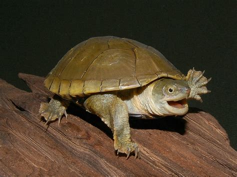 yellow mud turtles hatchlings and yearlings for sale