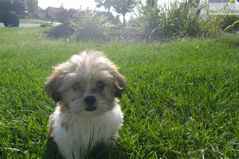 dogs for sale rochester ny shih poo shihpoo puppy for sale near rochester new york f4226047 ac31