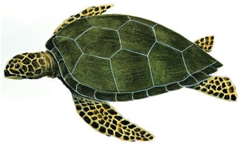 tartarughe marine alimentazione le tartarughe marine il portale dei bambini