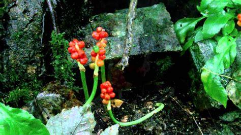 Arum Maxy poisonous plant arum maculatum in panmurefield forest