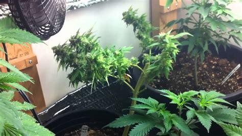 in door plant put in pot vide week 7 indoor weed grow 2013 scrog day 49 with vine