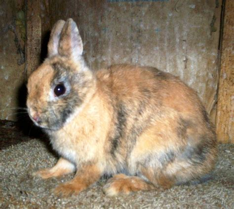Crouching Tiger Hanging Rabbit by Harlequins Tri Colors Bunny Hug Acres Specializing In