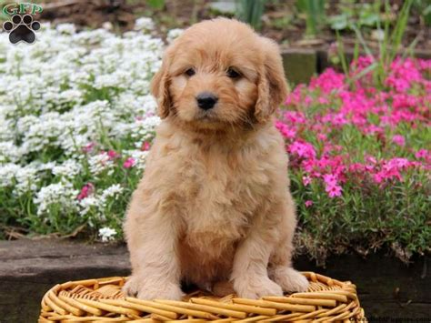 goldendoodle puppy for sale in pa mini goldendoodle puppy for sale from ronks pa
