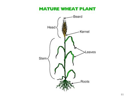 wheat seed diagram growing wheat