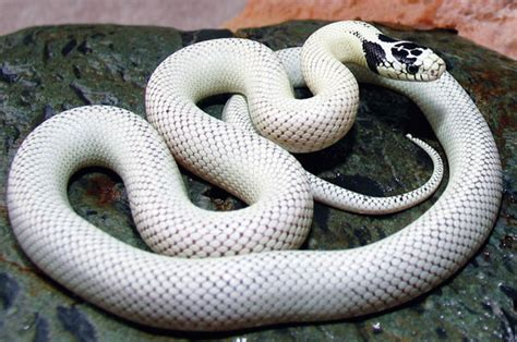 king snake colors toxic foods for california king snakes vets help