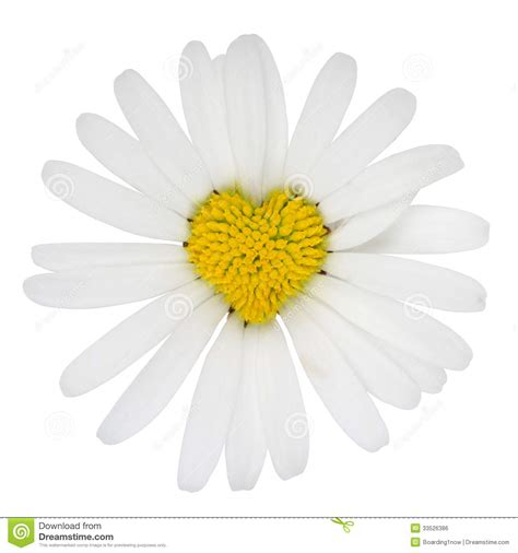 heart shaped marguerite flower love royalty free stock