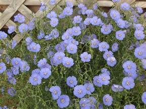 what is the blue flower perennial