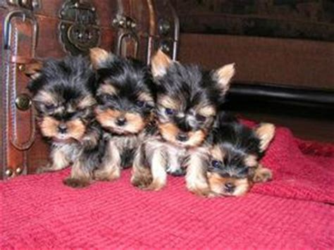 teacup yorkie rescue nc albertson nc teacup yorkie puppies for free adoption