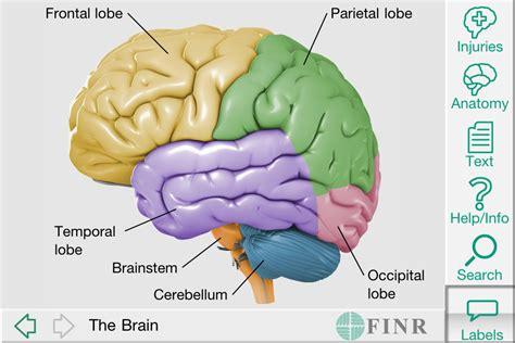 3d brain diagram 3d brain model label human anatomy chart