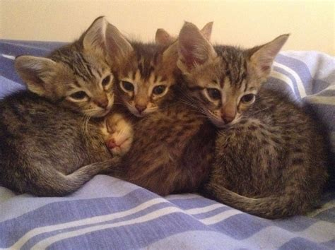 savannah kittens for sale about savannahs savannah f7b savannah kittens for sale dalkeith midlothian