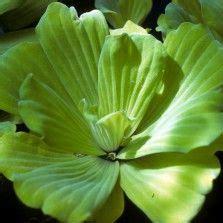 Tanaman Cattail Bulrush 17 terbaik gambar tentang tanaman hias air di tanaman merah muda dan mosaik