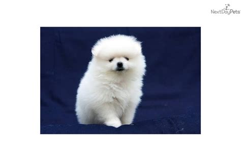 cheap pomeranian puppies for sale in pomeranian puppies for sale in cheap images