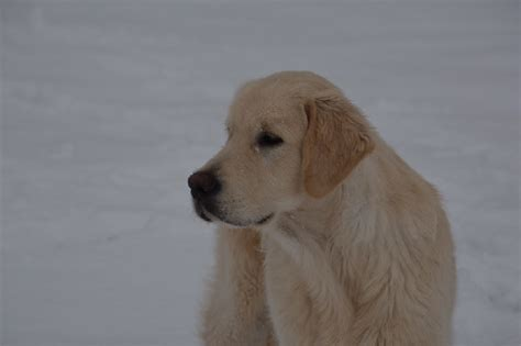 ashbury golden retrievers golden retriever ashbury golden retriever ashbury ashbury just in time 233 talon de