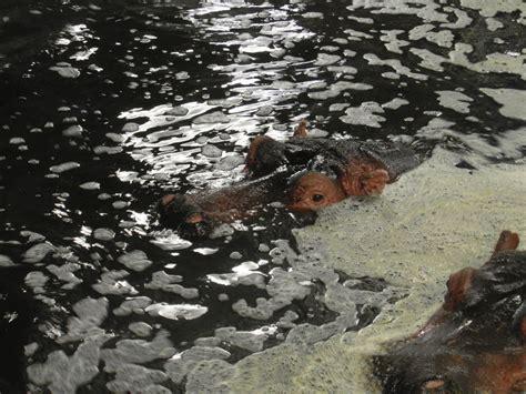 Hippo In Bathtub by Hippo In Bathtub By Powerleek On Deviantart