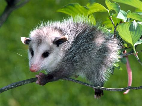 Awesome Animal opossum amazing animal interesting facts photos the