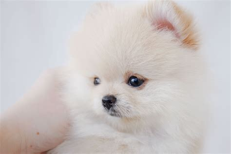 teacup pomeranian for sale in nj teacup pomeranian for sale at teacups puppies south florida breeds picture