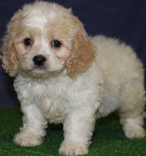 cavapoo puppies breeders 17 best ideas about cavapoo puppies for sale on cavapoo for sale cockapoo