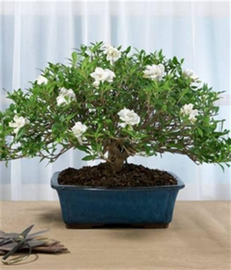 bonsai fiori bianchi bonsai gardenia schede bonsai