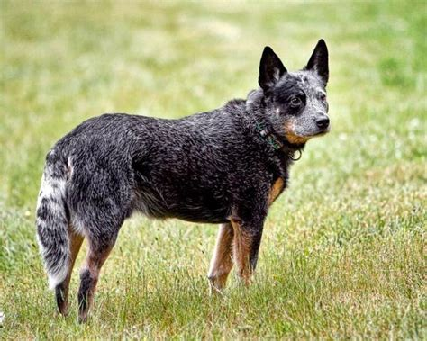 Why Is Boxer Shedding So Much by Why Is Australian Shepherd Heeler Mix Puppy