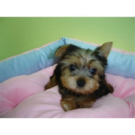 puppies for adoption in ohio teacup yorkie puppies for adoption pets for sale in the uk