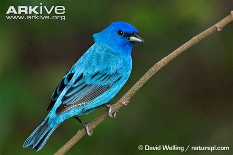 indigo bunting videos photos and facts passerina cyanea