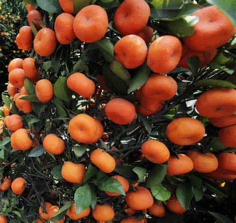 Bibit Pohon Jeruk Santang Madu tanaman jeruk santang bibitbunga