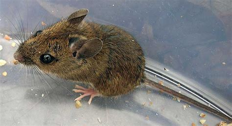 mice in house mice in house image search results