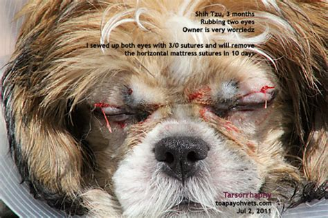 shih tzu ear problems 20100619dental scaling health care problems in singapore dogs fistula oronasal dog
