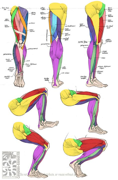 Where Can I Buy Legs by Anatomy Leg Muscles By Quarter Virus On Deviantart