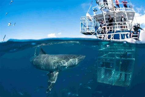 cage dive with sharks shark diving cape town all about great white shark
