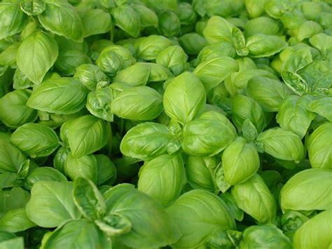 semina basilico in vaso seminare basilico aromatiche come e quando seminare il
