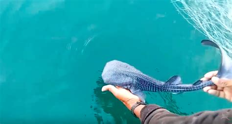 baby shark whale baby whale shark rescued from gillnet in india video