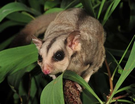 sugar glider life expectancy