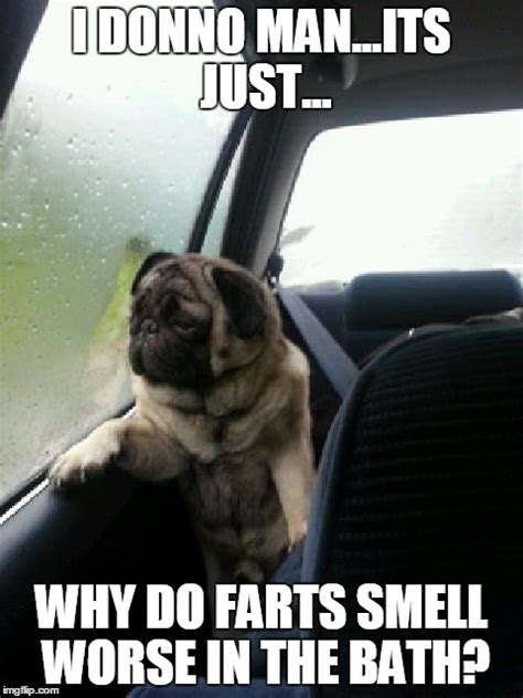 why do pugs smell introspective pug imgflip