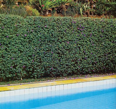 cerco casa a como 11 esp 233 cies de cerca vivas casa e jardim paisagismo