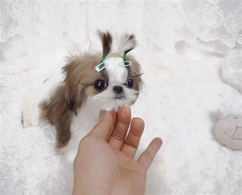 grown shih tzu amazing 6 1 2 month gorgeous 3 pound grown shih tzu mishi sold to debbie in