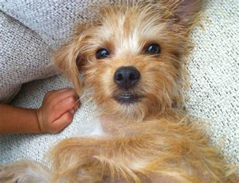 yorkie san antonio buster adorable yorkie mix to adopt in san antonio area pet re homing pet