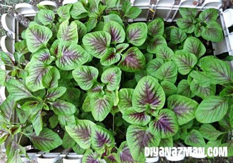 harvest of the day spinach diyanazman