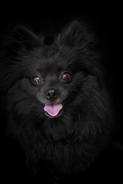 black pomeranian pictures sessions frame your pet los angeles pet photographer