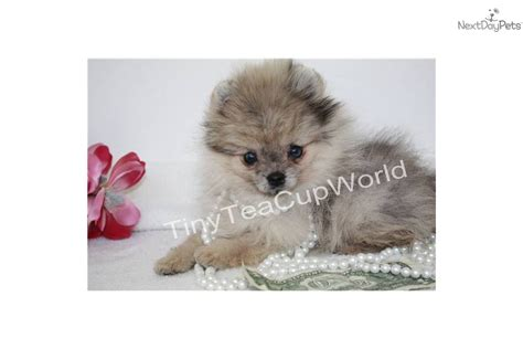blue teacup pomeranian pomeranians on pomeranian dogs memes and blue merle quotes