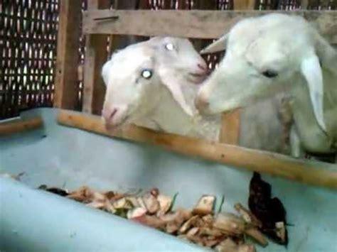Fermentasi Pakan Ternak Kambing Gibas cara ternak kambing ternak kambing gibas fermentasi