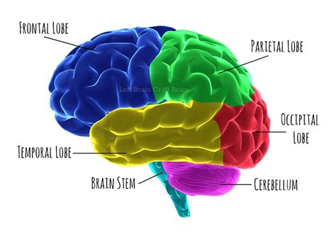 Sections Of The Brain And What They by 5 Ways To Play Brain Surgeon Left Brain Craft Brain
