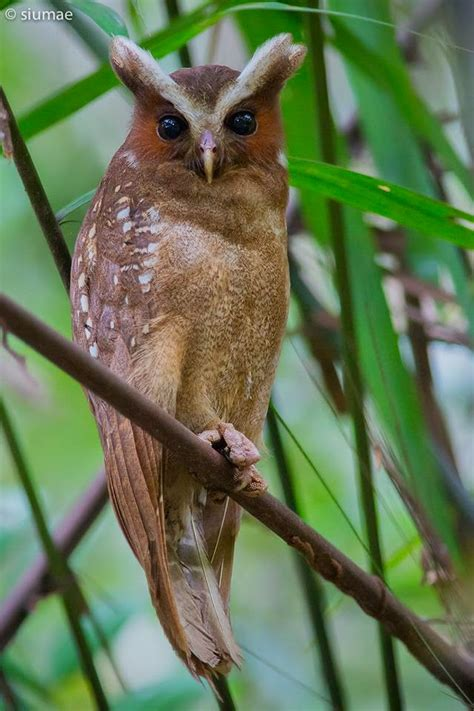 At Last I See The Light Xenornis Crested Owl At Pipeline Road A Report By Siu Mae
