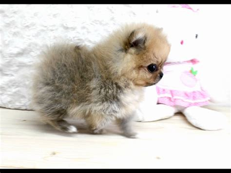 tiniest tiny micro teacup pomeranian puppy boutique teacup puppies micro teacup pomeranians tiniest pom puppies