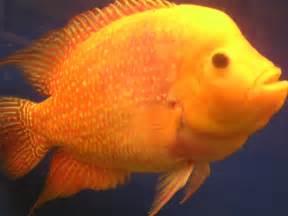Fish Flower Horn - cichlids com golden emperor flowerhorn