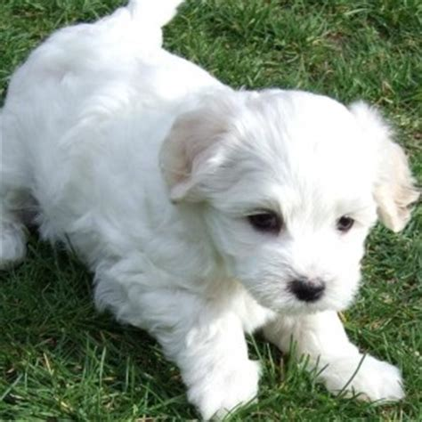 Small Dogs Looking For New Home Havachon Breed Information And Facts