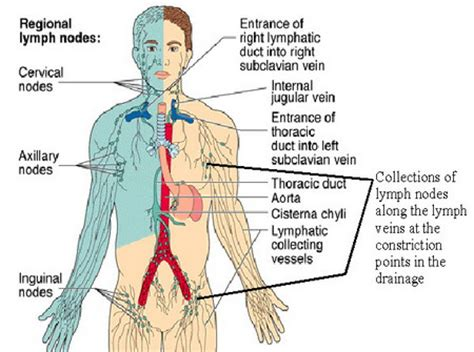 groin lymph nodes diagram lymph node cancer stages treatment surgery and prognosis