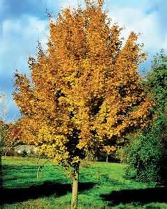 acer cestre elsrijk tree garden gift company